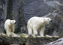 Polar white bear close up in sunny day. Polar white bear,close up in sunny day stock photos
