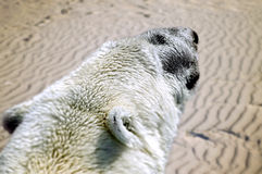 A polar white bear in the desert. A future possible effect of climate change. Stock Images