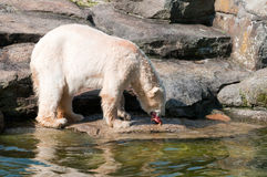 Polar white bear eat meat royalty free stock photography