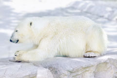 Polar white  bear in his  natural habitat. Royalty Free Stock Images