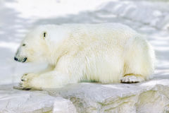 Polar white  bear in his  natural habitat. Royalty Free Stock Photography