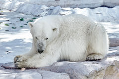 Polar white  bear in his  natural habitat. Royalty Free Stock Photos