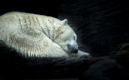 Free Polar White Bear Sleeping On Snow Rock. Sleeping Polar Bear In White Winter Zoo Royalty Free Stock Images - 167344009