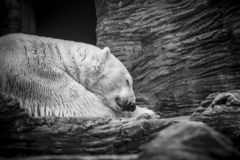 Free Polar White Bear Sleeping On Snow Rock. Sleeping Polar Bear In White Winter Zoo Royalty Free Stock Image - 167345056