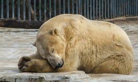 Polar white bear in the zoo. Polar bear sleeping on a rock. Polar white bear in the zoo. Polar bear sleeping on a rock stock image