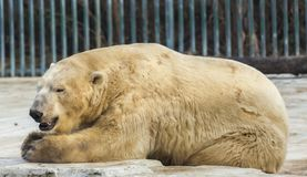 Polar white bear in the zoo. Polar bear sleeping on a rock. Polar white bear in the zoo. Polar bear sleeping on a rock royalty free stock photo