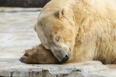 Polar white bear in the zoo. Polar bear sleeping on a rock. Polar white bear in the zoo. Polar bear sleeping on a rock stock photos
