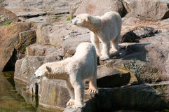 Polar white bears Stock Photos