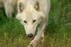 Polar, white wolf run in grass is running royalty free stock photos