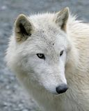 Polar Wolf 4 Royalty Free Stock Photos