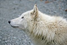 Polar Wolf 5 Royalty Free Stock Photography