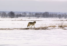 Polar wolf (Canis lupus albus) Stock Photography