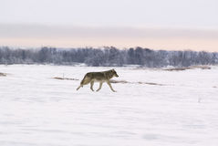 Polar wolf (Canis lupus albus) Royalty Free Stock Photography