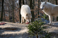 Polar wolf eats . Royalty Free Stock Photos