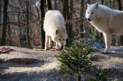 Polar wolf eats . Royalty Free Stock Photos