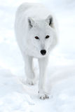 Polar wolf Stock Image