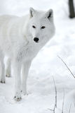 Polar wolf Royalty Free Stock Image