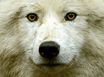 Polar wolf Stock Photos