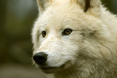 Polar wolf Stock Images