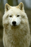 Polar wolf. In its natural habitat Royalty Free Stock Images