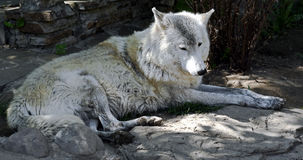 Polar wolf 12 Stock Photos