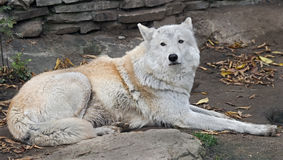 Polar wolf 16 Royalty Free Stock Images