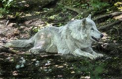 Polar wolf at rest in the shadow 1 Stock Images