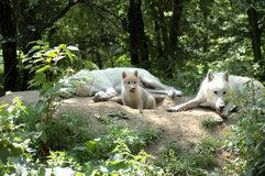 Polar  wolf's family. Stock Photos