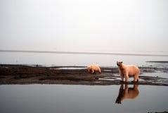 polara björnar 1 Arkivbild