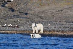 Polara björnar Royaltyfria Bilder