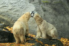 Polara björnar Royaltyfri Foto