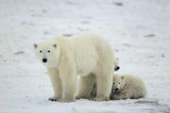 polara björngröngölingar Arkivbild
