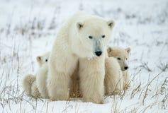 polara björngröngölingar En polar hon-björn med två lilla björngröngölingar på snön Fotografering för Bildbyråer