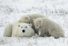 polara björngröngölingar Arkivfoton
