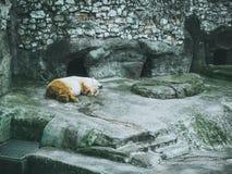 Polara för slottskog för vit björn liggande träd Royaltyfri Fotografi