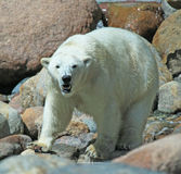 Polarbear Stock Photography