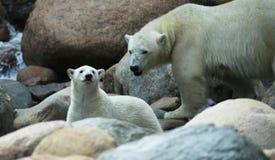 Polarbear. A photo of a polar bear Royalty Free Stock Image