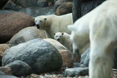 Polarbear. A photo of a polar bear Royalty Free Stock Images