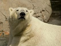 Polarbear Stock Foto's