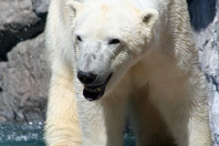 Polarbear Royalty Free Stock Photos