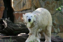 Polarbear. At the Berlin Zoo in Germany Stock Image