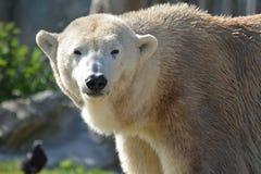 Polarbear Стоковое Фото