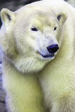 Polarbear Royalty Free Stock Image