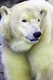 polarbear image libre de droits