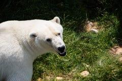 Polarbear Стоковые Изображения