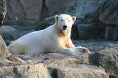 Polarbear Knut Stockfoto