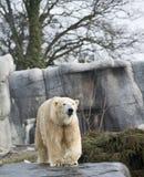 Polarbear. In Copenhagen zoo, Denmark Royalty Free Stock Photography