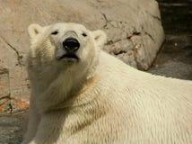 Polarbear. In Copenhagen zoo summer 2009 Stock Photos