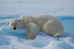 Polarbear slapen Stock Foto's