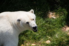 Polarbear in the Zoo Stock Images